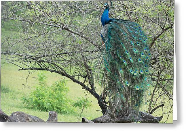 Southern Province Greeting Cards - Peacock in tree Greeting Card by Christina Rahm