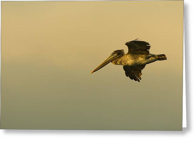 Pelican Greeting Card by Sebastian Musial