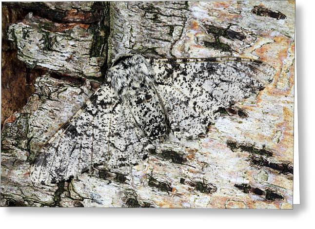 Peppered Moth Greeting Card by Nigel Downer