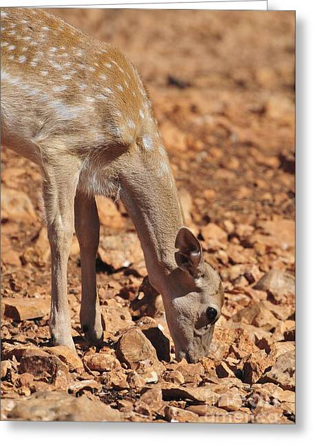 Dama Greeting Cards - Persian Fallow Deer Greeting Card by PhotoStock-Israel