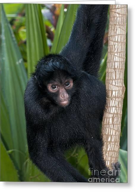 Spider Species Greeting Cards - Peruvian Spider Monkey Greeting Card by William H. Mullins