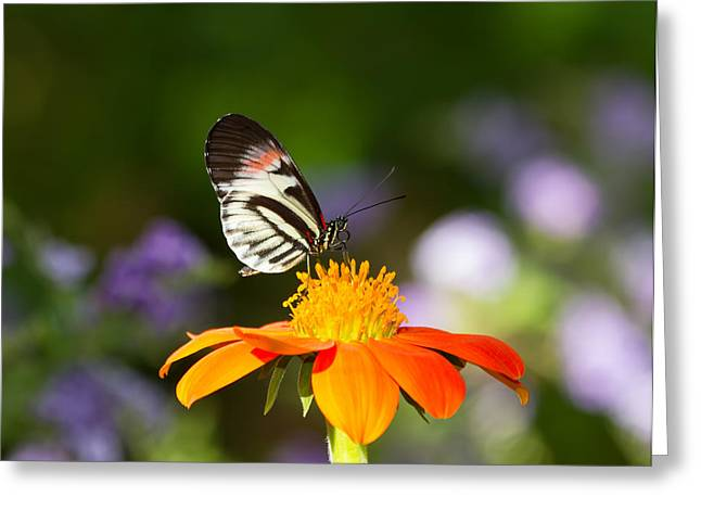 Best Sellers -  - Kim Photographs Greeting Cards - Piano Key Butterfly Greeting Card by Kim Hojnacki