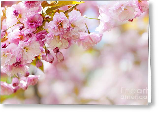 Orchard Greeting Cards - Pink cherry blossoms  Greeting Card by Elena Elisseeva