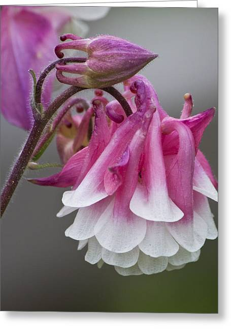 Michael D Friedman Greeting Cards - Pink Columbine Greeting Card by Michael Friedman