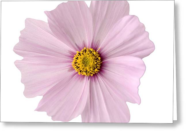 Pink Blossoms Greeting Cards - Pink Coreopsis Daisy Greeting Card by Tony Cordoza
