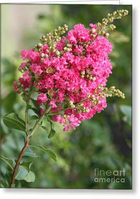 Crape Greeting Cards - Pink Crepe Myrtle Flowers Greeting Card by Carol Groenen