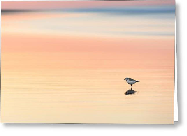 Seabirds Greeting Cards - Piping Plover Greeting Card by Bill  Wakeley