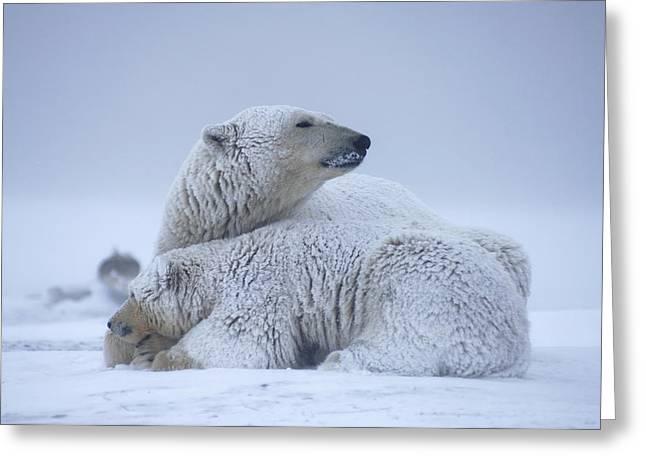 Polar Bear Sow With Cub Resting Greeting Card by Steven Kazlowski