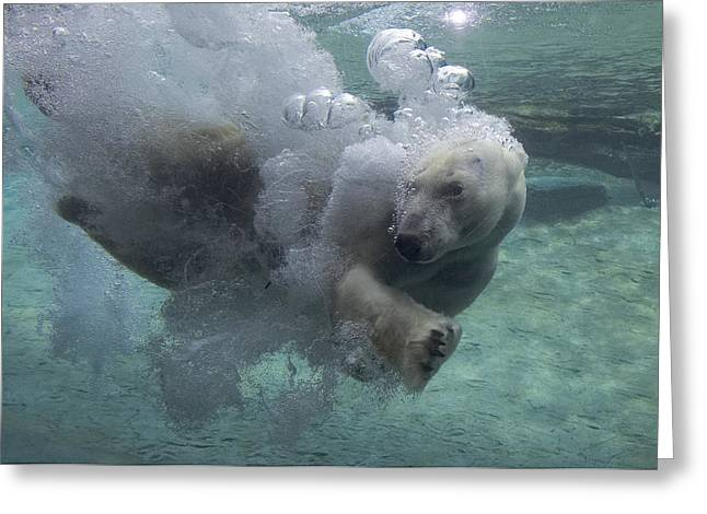 Underwater Photos Greeting Cards - Polar Bear Swimming Underwater Greeting Card by San Diego Zoo