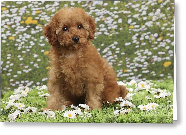 Apricot Greeting Cards - Poodle Puppy Dog Greeting Card by Jean-Michel Labat