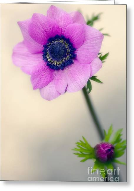 Anemone Coronaria Greeting Cards - Poppy Anemone Anemone Coronaria Greeting Card by Maria Mosolova