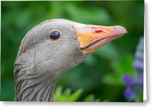 Seabirds Greeting Cards - Portrait Of Greylag Goose, Iceland Greeting Card by Panoramic Images