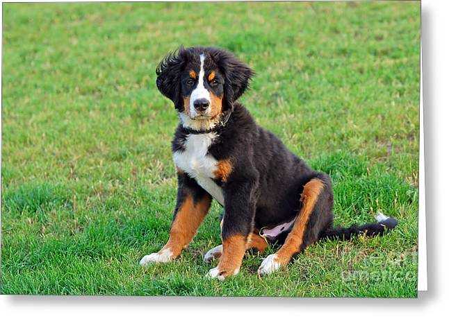 Best Friend Greeting Cards - Portrait of puppy Bernese mountain dog  Greeting Card by Michal Bednarek