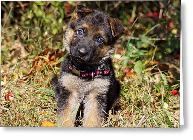 Indiana German Shepherds Greeting Cards - Pretty Puppy Greeting Card by Sandy Keeton