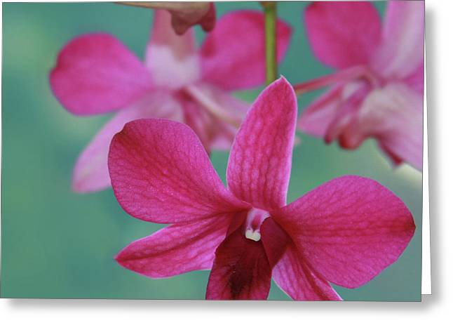 Dendrobium Greeting Cards - Puanani Kealoha Dendrobium d Burana Red Flame Hawaiian Orchid Greeting Card by Sharon Mau