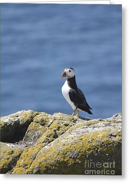 Seabirds Greeting Cards - Puffin Greeting Card by David Grant