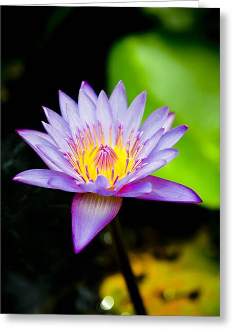 Purple Lotus  Greeting Card by Raimond Klavins