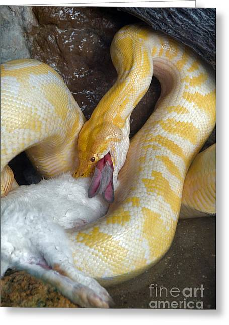 Constricting Greeting Cards - Python With Prey Greeting Card by Mark Newman
