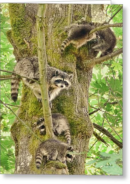 Raccoon Greeting Cards - Raccoon Family Greeting Card by Jennie Marie Schell