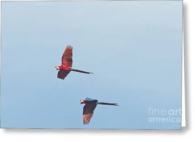Reserve Greeting Cards - Red-and-green Macaws Greeting Card by William H. Mullins