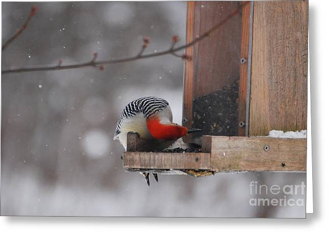 Feeder Framed Prints Greeting Cards - Red-bellied Woodpecker Greeting Card by Lila Fisher-Wenzel