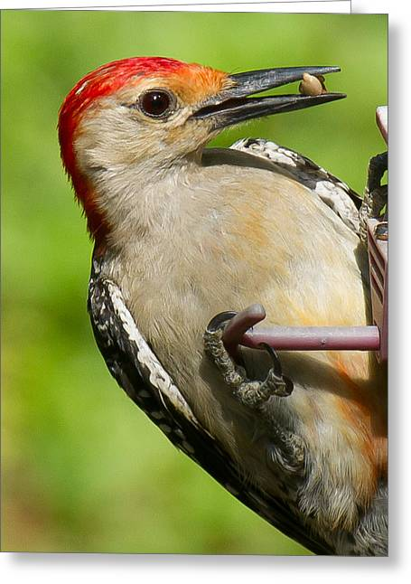 Bird Brain Greeting Cards - Red Bellied Woodpecker Greeting Card by Robert L Jackson