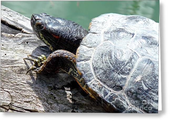 Red Eared Slider Greeting Card by Irfan Gillani