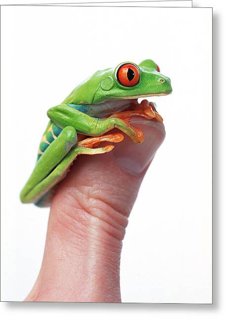 35-39 Years Greeting Cards - Red-eyed Tree Frog Agalychnis Callidryas Greeting Card by Corey Hochachka