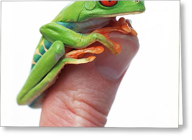Red-eyed Tree Frog Agalychnis Callidryas Greeting Card by Corey Hochachka