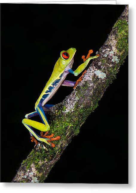 Tree Frogs Greeting Cards - Red-eyed Tree Frog Agalychnis Greeting Card by Panoramic Images