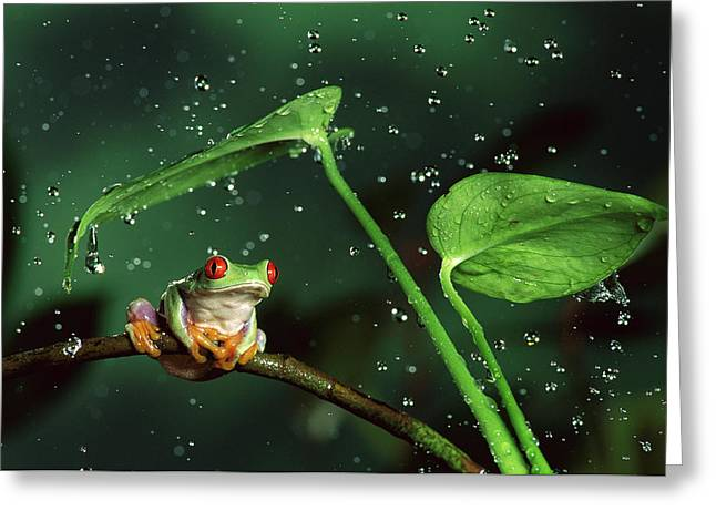 Rain Droplet Photographs Greeting Cards - Red-eyed Tree Frog in the Rain Greeting Card by Michael Durham