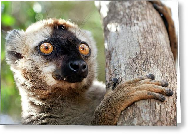 Red-fronted Brown Lemur Greeting Card by Alex Hyde