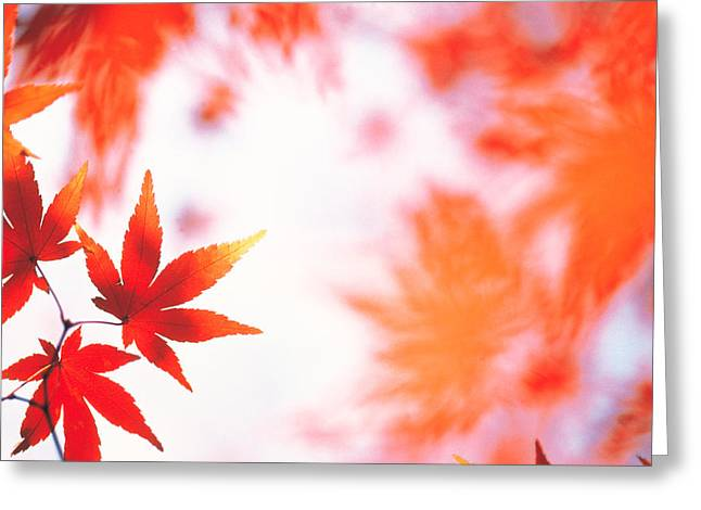 Backlit Greeting Cards - Red Maple Leaves Greeting Card by Panoramic Images