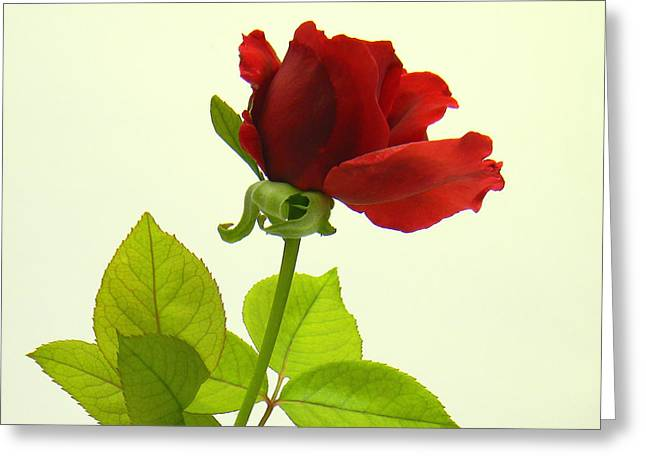 Rose Highlights Greeting Cards - Red Rose Greeting Card by Roxana Casillas