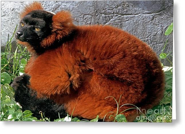 Lemur Greeting Cards - Red-ruffed Lemur Greeting Card by Millard H. Sharp