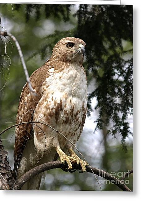 Red-tailed Hawk Greeting Cards - Red Tail Hawk 2 Greeting Card by Peter Gray