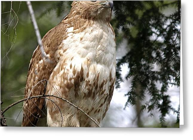 Red Tail Hawk 2 Greeting Card by Peter Gray