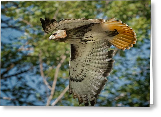 Red Tail Hawk Greeting Card by Bill  Wakeley