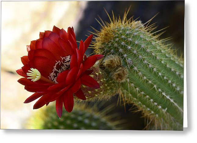 Torch Cactus Greeting Cards - Red Torch Cactus  Greeting Card by Saija  Lehtonen