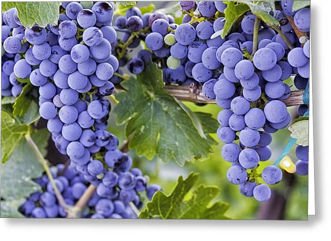 White Grape Greeting Cards - Red Wine Grapes Hanging on the Vine Greeting Card by Teri Virbickis