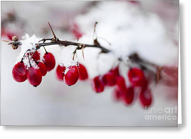 Berry Greeting Cards - Red winter berries under snow Greeting Card by Elena Elisseeva