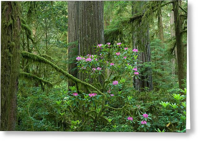 Crescent City Greeting Cards - Redwood Trees And Rhododendron Flowers Greeting Card by Panoramic Images