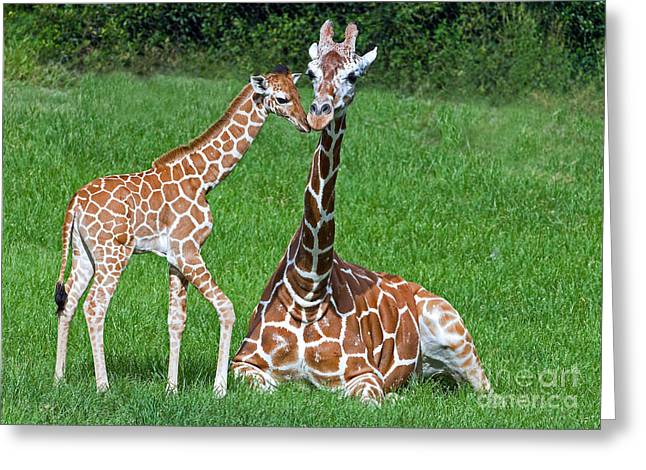 Wildlife In Captivity Greeting Cards - Reticulated Giraffe Calf With Mother Greeting Card by Millard H. Sharp