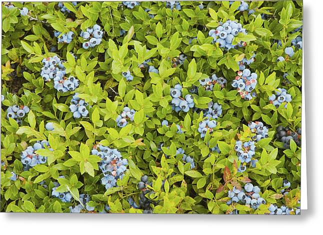 Green Fruit Greeting Cards - Ripe Maine Low Bush Wild Blueberries Greeting Card by Keith Webber Jr