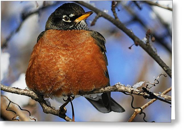 American Robin Greeting Cards - Robin... Greeting Card by Nina Stavlund
