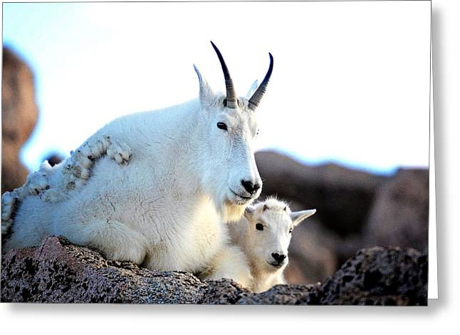 Rocky Mountain Goats 2 Greeting Card by OLenaArt Lena Owens
