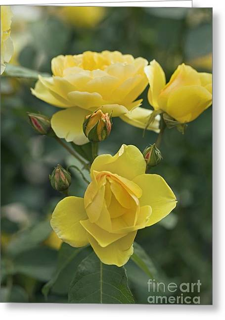 Charlotte Greeting Cards - Rose Rosa Charlotte Auspoly Greeting Card by Dr. Keith Wheeler