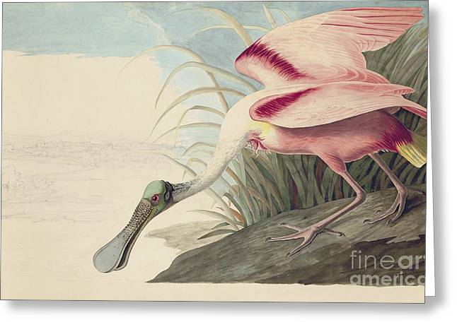 Pecking Drawings Greeting Cards - Roseate Spoonbill  Greeting Card by John James Audubon