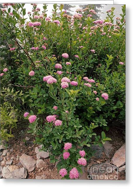 Spirea Greeting Cards - Rosy Spirea Spiraea Splendens Greeting Card by Bob Gibbons