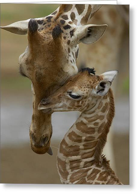 Affection Greeting Cards - Rothschild Giraffe and Calf Greeting Card by San Diego Zoo